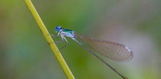 Iglica mała (Nehalennia speciosa)