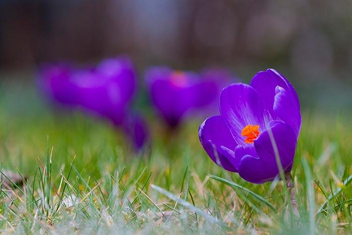krokus wiosenny